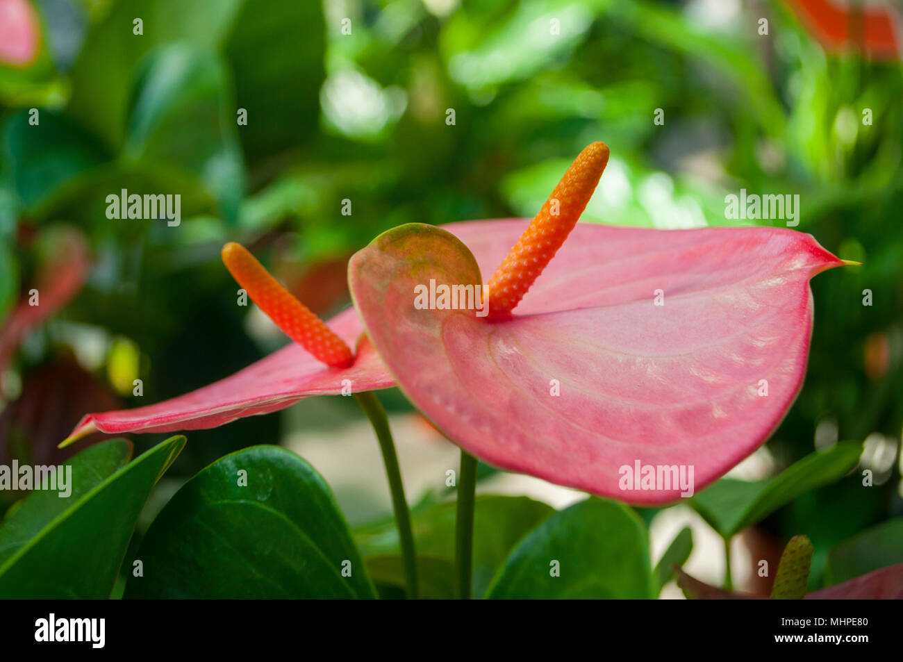 Beautiful Pink Color Anthurium Flowers In A Garden Stock Photo