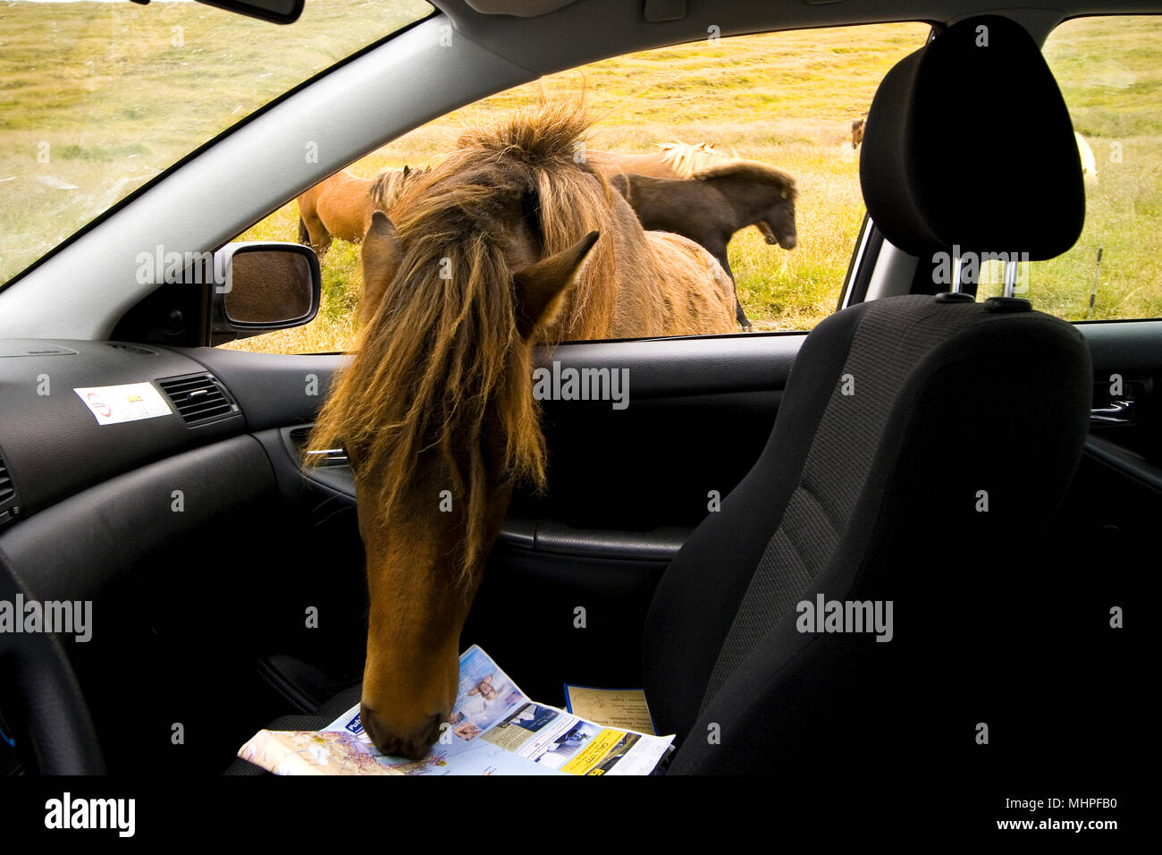 Horse attack car. Iceland - Stock Image