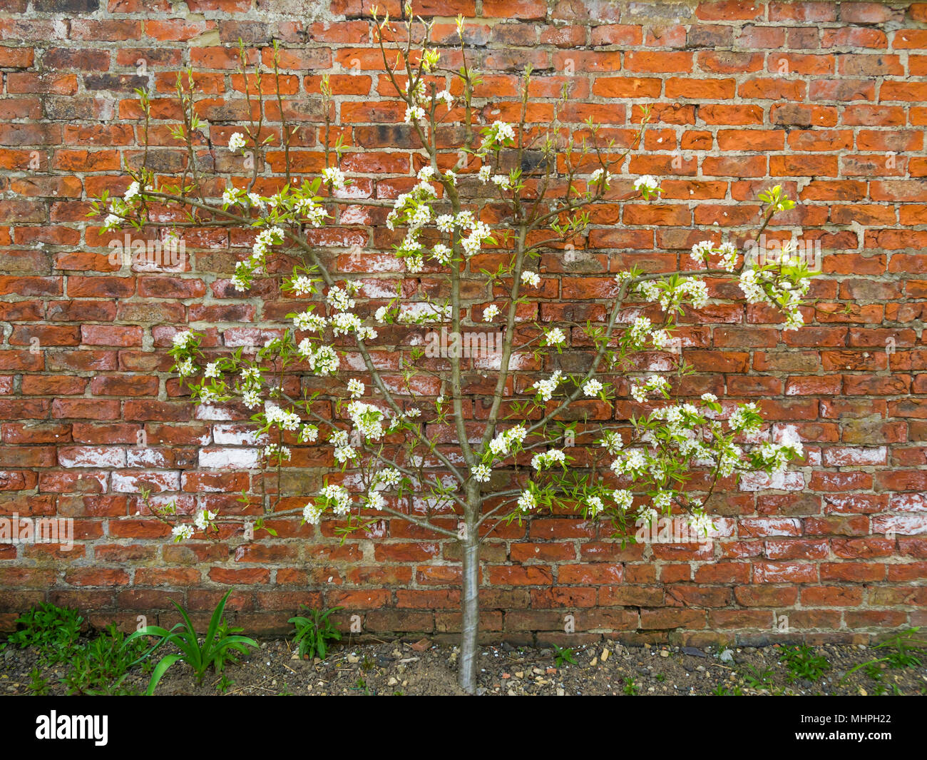 An apple tree espalier in blossom on a brick wall at in a heritage ...