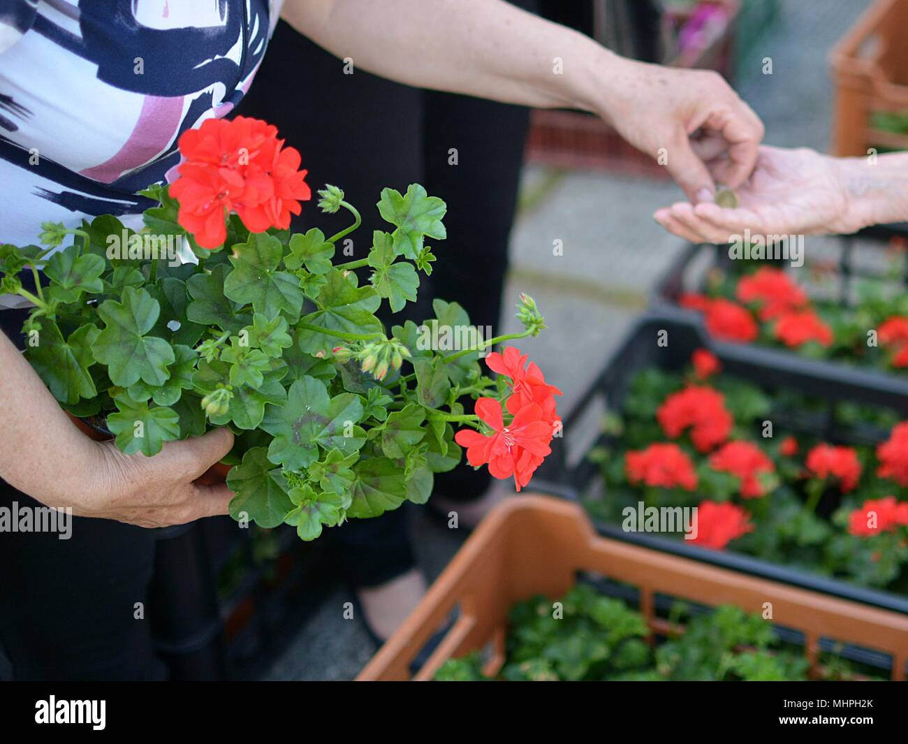marjoram plant at the hands of a gardener - Stock Image