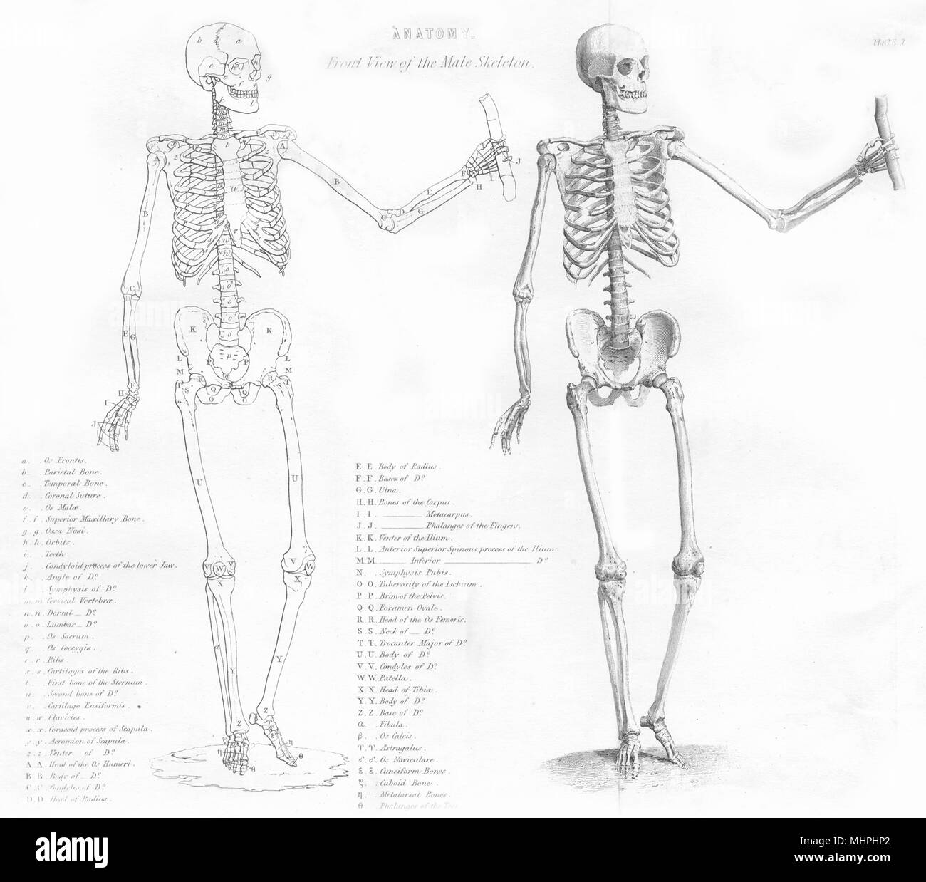 Biology Anatomy Front View Of The Male Skeleton 1880 Old Antique