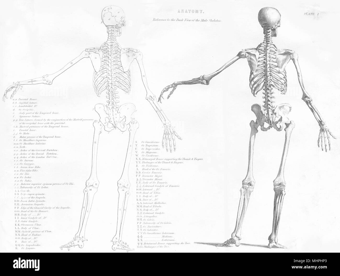 Biology Anatomy Reference To The Back View Of The Male Skeleton