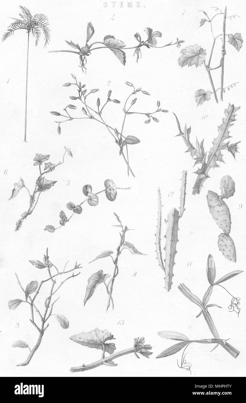 PLANTS. Stems 1880 old antique vintage print picture - Stock Image