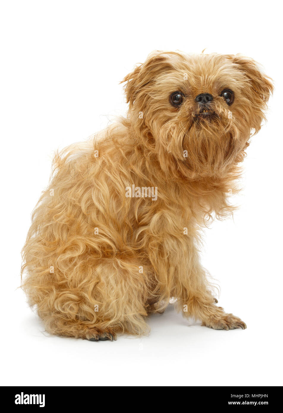 Shaggy Dog Breed Brussels Griffon Before Shearing Isolated On White
