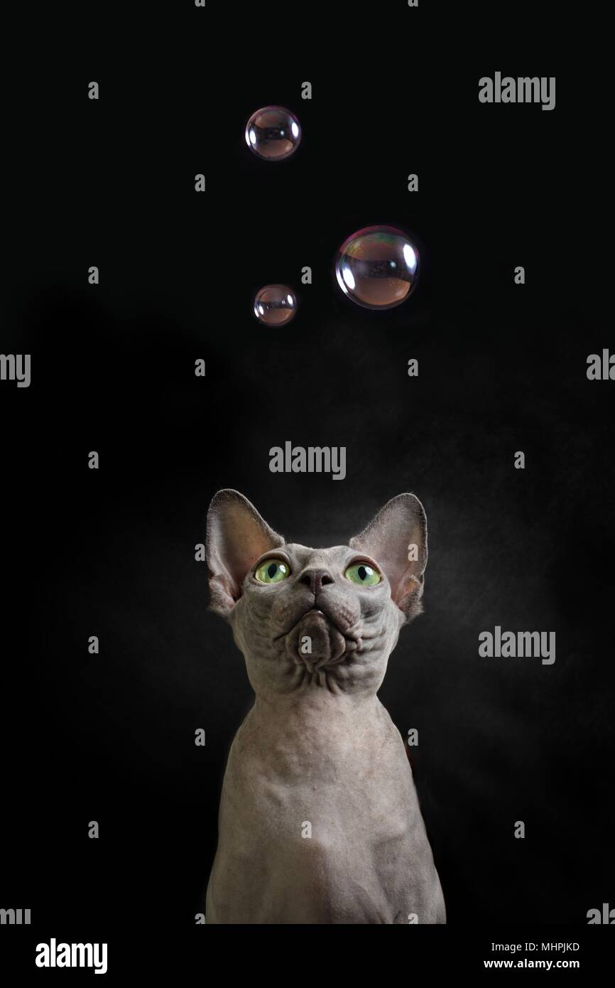 Sphynx cat look up to some soap bubbles - Stock Image
