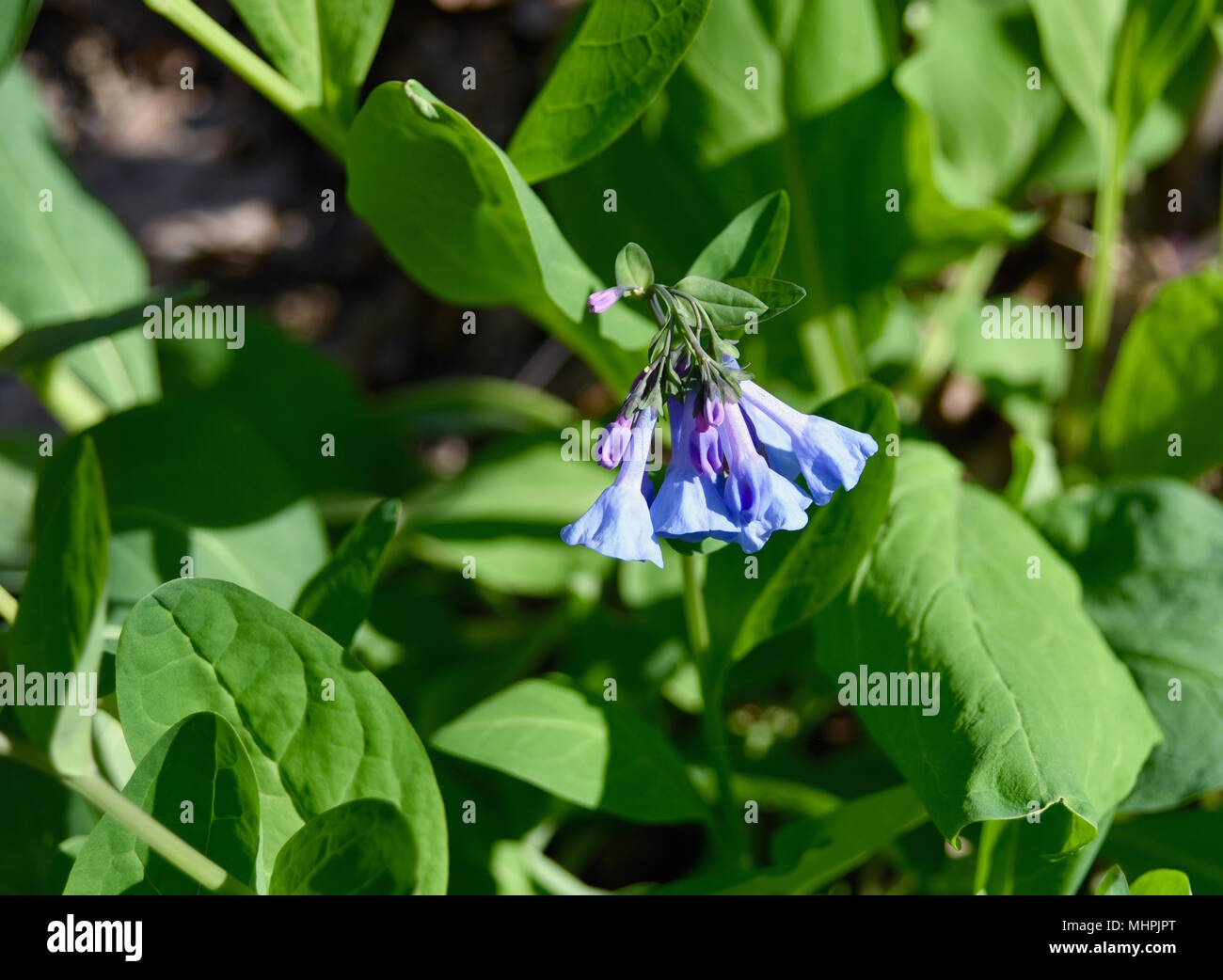 Virginia Bluebell Flowers And Green Leaves Growing In A Spring