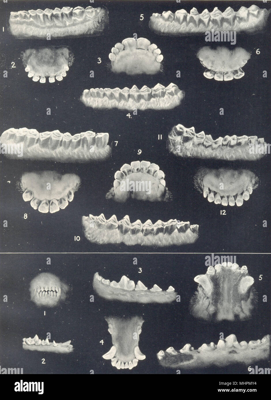 AGE OF SHEEP & DOGS. Dentition. Molars and incisors at various ages 1912 print - Stock Image