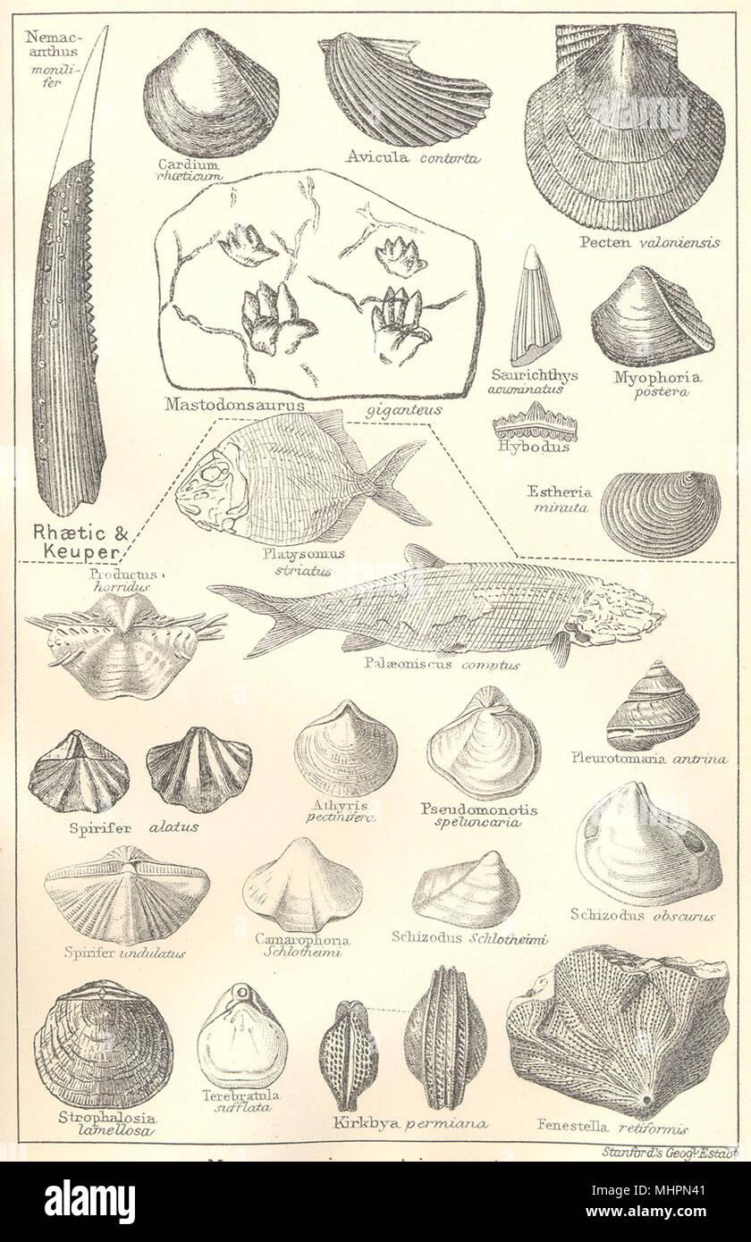 BRITISH FOSSILS. Triassic & Permian Magnesian Limestone. Molluscs. STANFORD 1880 - Stock Image