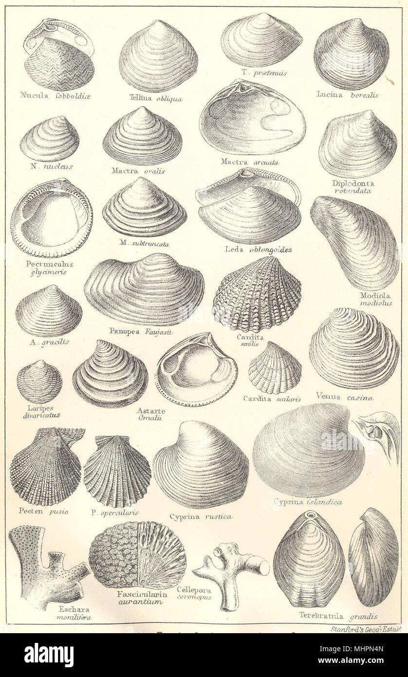 BRITISH FOSSILS. Pliocene, Norwich, Red, Coralline Crag. Molluscs. STANFORD 1880 - Stock Image