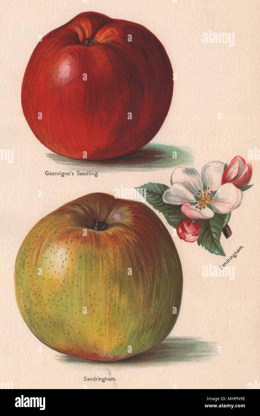 APPLES. Gascoigne's Seedling; Sandringham. WRIGHT Chromolithograph 1892 print - Stock Image