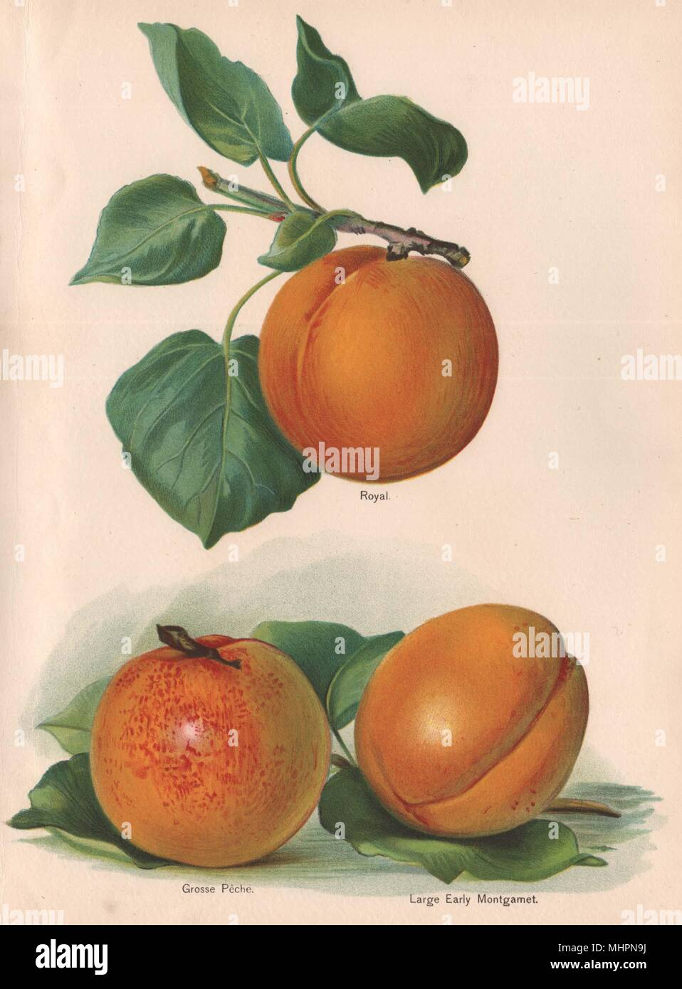 PEACHES. Royal; Grosse Pêche; Large Early Montgamet. WRIGHT Chromolitho 1892 - Stock Image