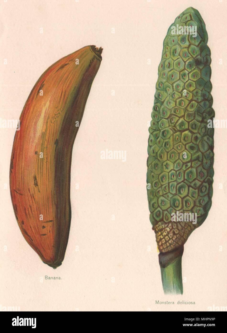 BANANA; Monstera Deliciosa (FRUIT SALAD PLANT). WRIGHT Chromolithograph 1892 - Stock Image