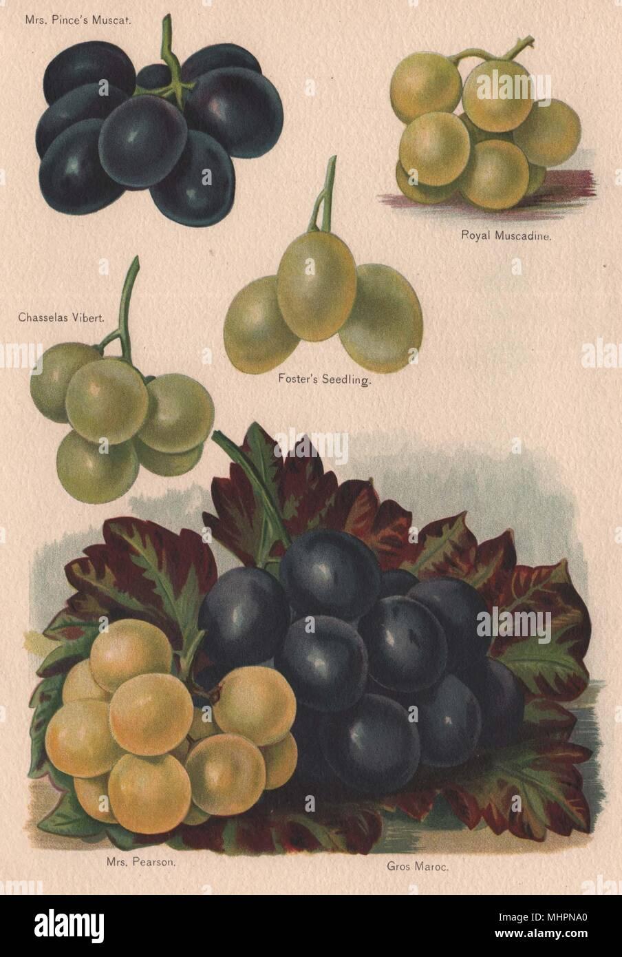 GRAPES. Mrs. Pince's Muscat; Royal Muscadine; Chasselas Vibert. WRIGHT 1892 Stock Photo