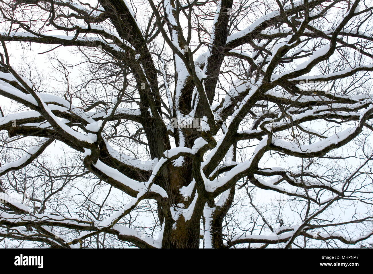 Mighty tree trunk with large branches completely covered in fresh winter snow on cold foggy winter day - Stock Image