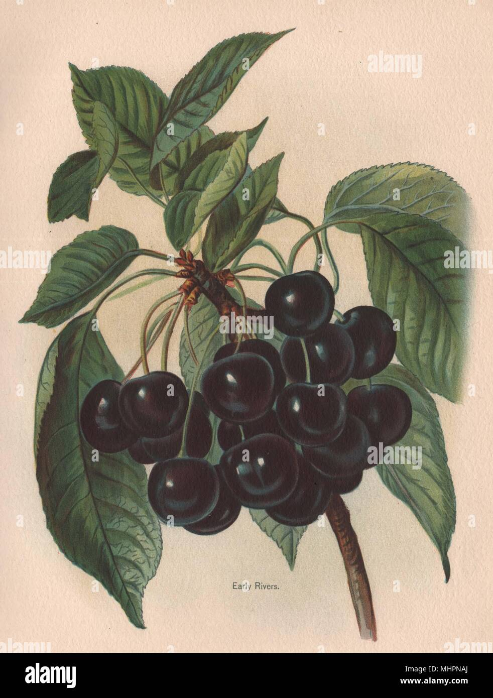 CHERRIES. Early Rivers. WRIGHT Chromolithograph 1892 old antique print picture - Stock Image