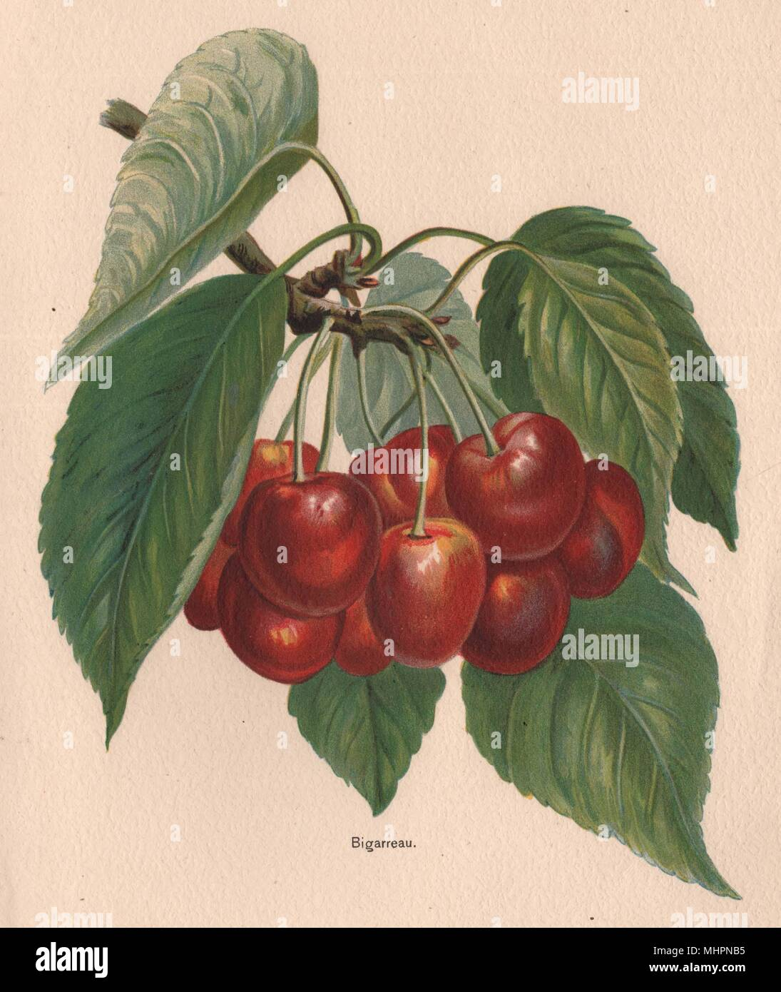 CHERRIES. Bigarreau. WRIGHT Chromolithograph 1892 old antique print picture - Stock Image