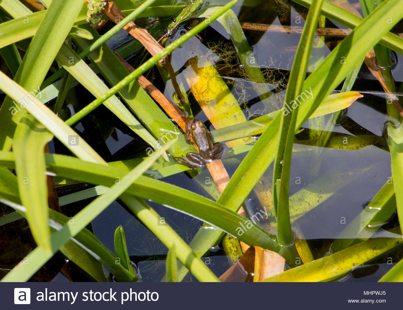 Female bronze frog (Lithobates clamitans clamitans) floating in lake - Long Key Natural Area and Nature Center, Davie, Florida, USA - Stock Image