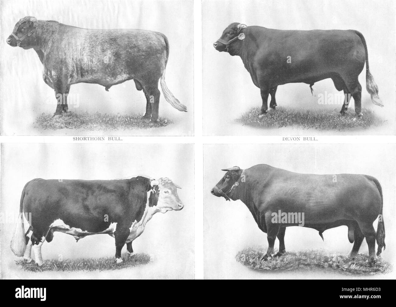Hereford Cattle Black And White Stock Photos Images Alamy
