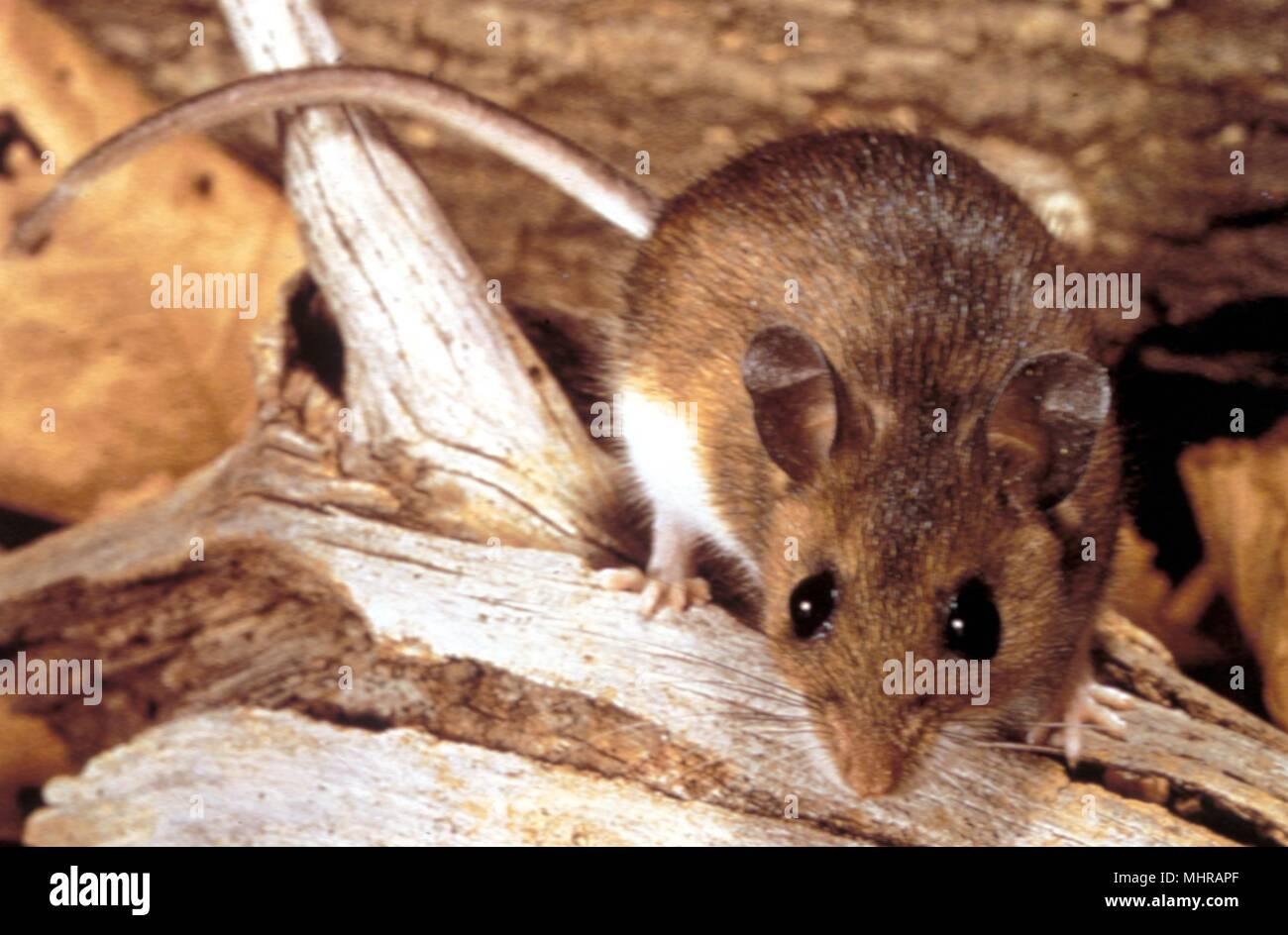 Deer mouse (Peromyscus maniculatus), a possible transmitter of the Hantavirus, 1990. Image courtesy Centers for Disease Control (CDC). () - Stock Image