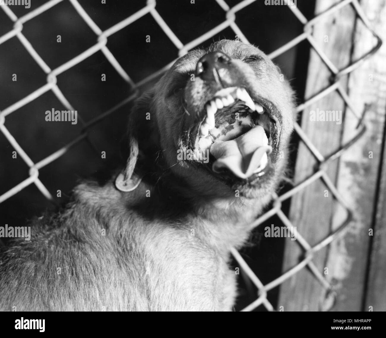 Aggressive behavior of a caged canine, suspected of being rabid, 1980. Image courtesy Centers for Disease Control (CDC). () - Stock Image