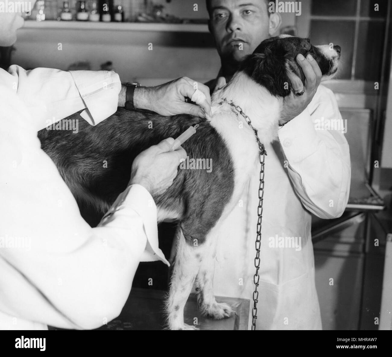 Two Centers for Disease Control (CDC) veterinarians vaccinating a dog against rabies, Atlanta, Georgia, 1968. Image courtesy Centers for Disease Control. () - Stock Image