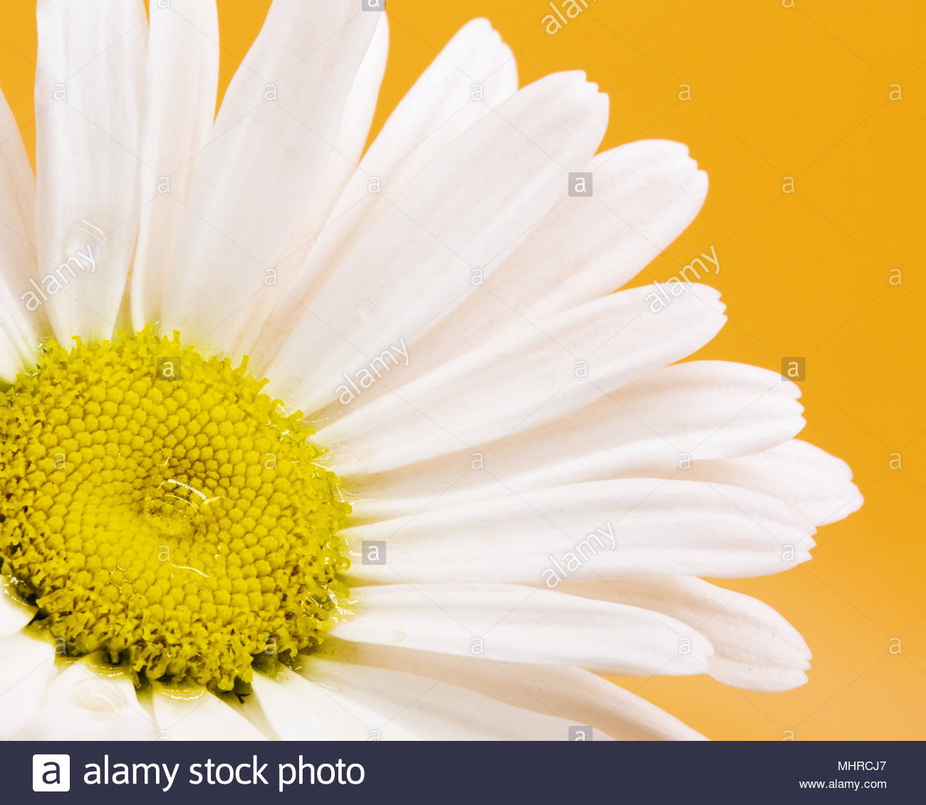 Daisy Flower Pictures Stock Photos Daisy Flower Pictures Stock
