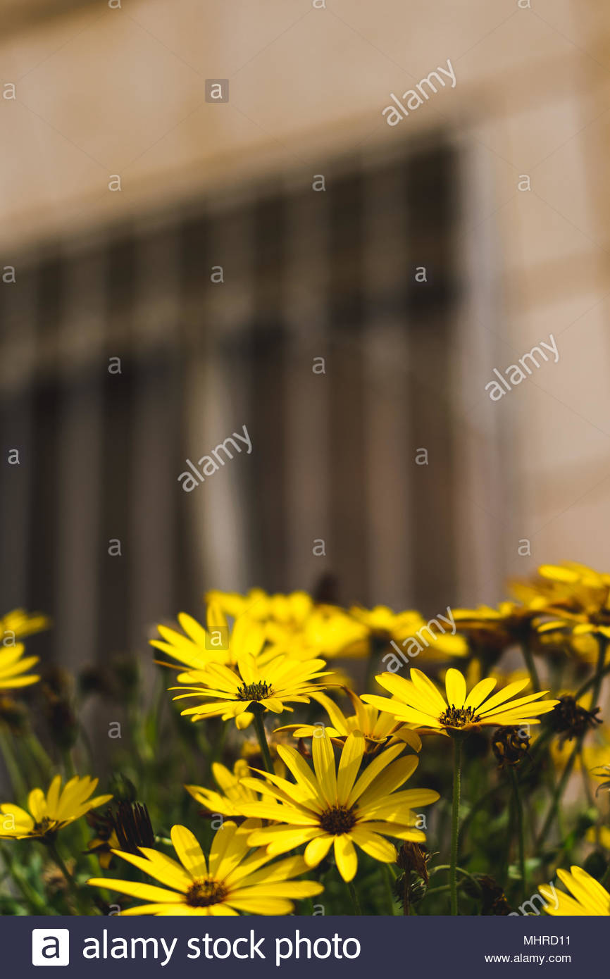 Yellow flowers - Stock Image