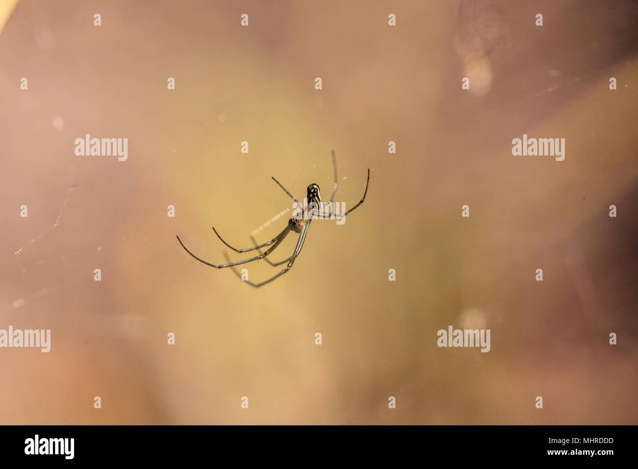 Orchard Orb-weaver spider Leucauge venusta in the middle of a web in Naples, Florida - Stock Image