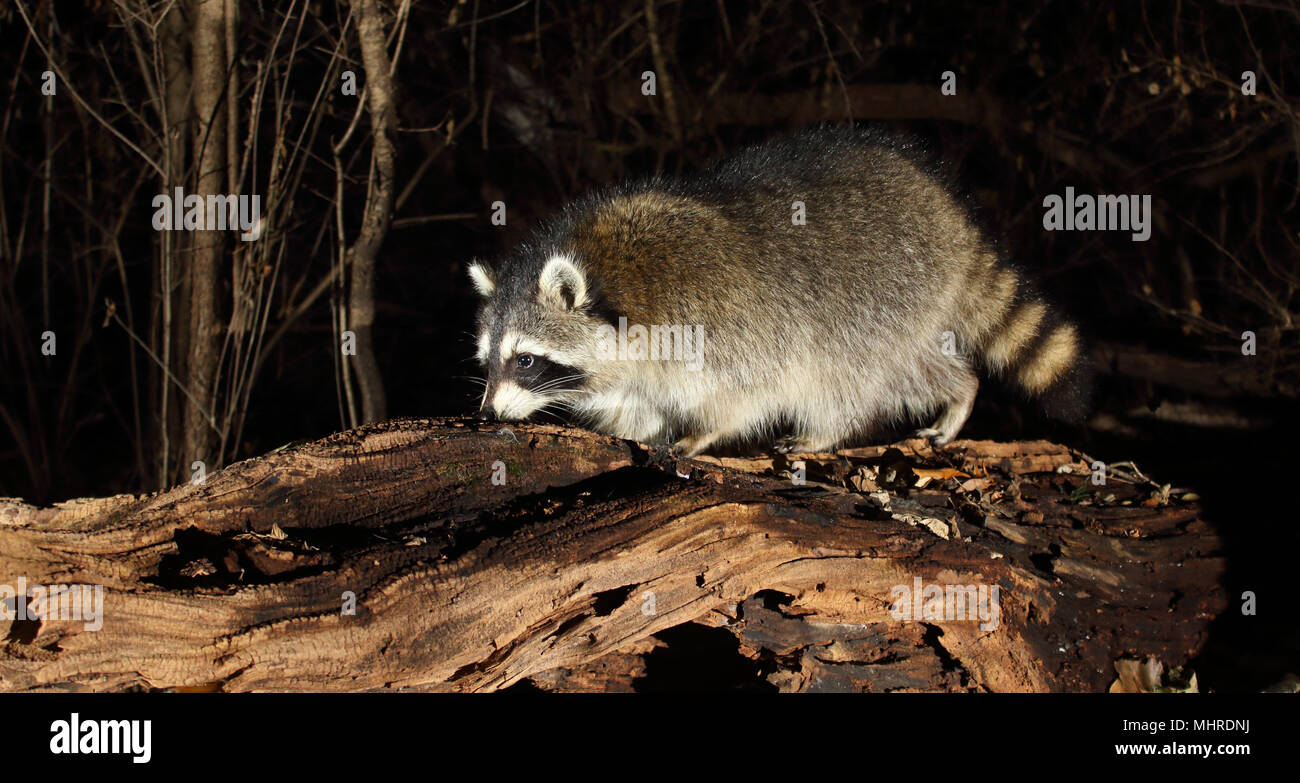 A Common Raccoon sniffing a textured log. - Stock Image