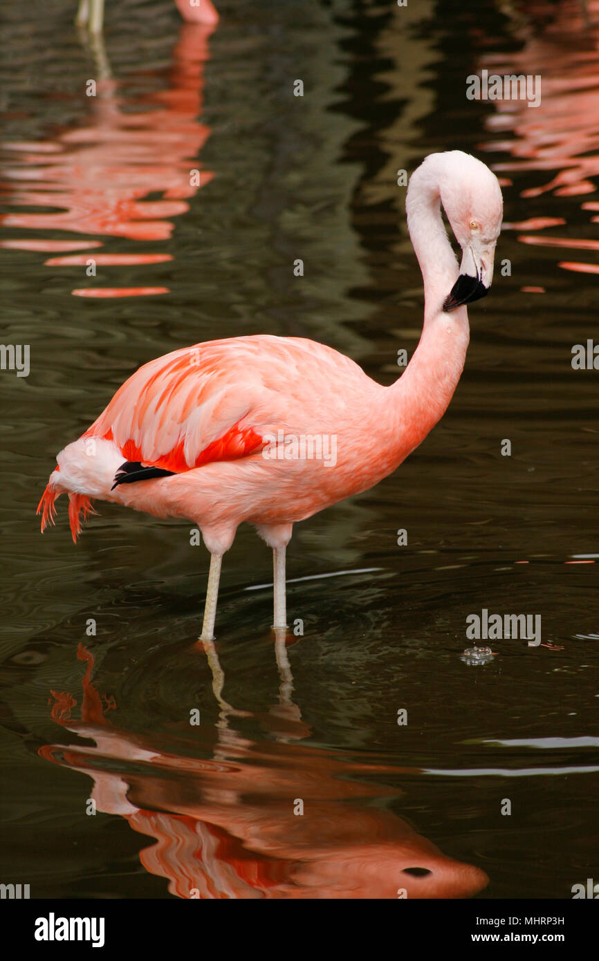 BURSCOUGH, UK. 3rd May 2018. UK Weather: Chilean Flamingos come out for milder weather at Martin Mere wetland centre, Burscough, UK. Premos/Alamy Live News - Stock Image