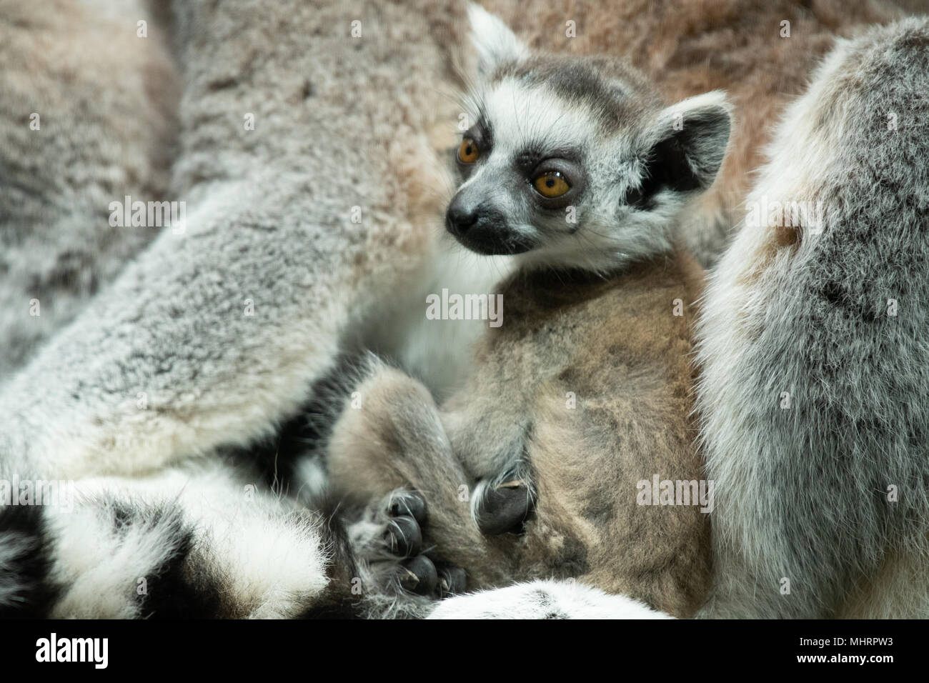 96e8af05052c9 Three Ring-Tailed Lemurs have been born at Bristol Zoo Gardens within three  days of each other. Twins were born to mum Ethel and less than 72 hours  later ...