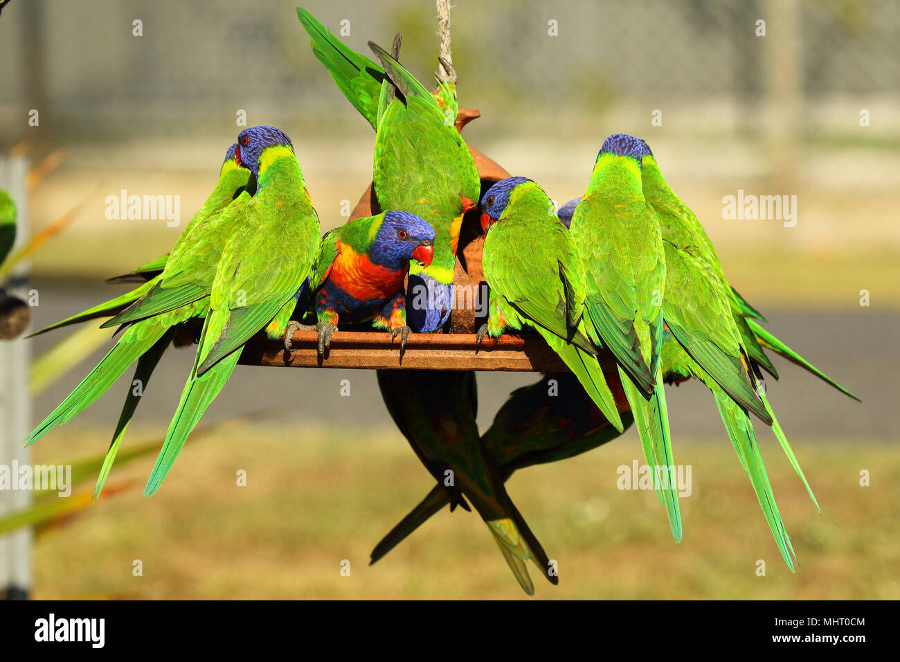 A group of Rainbow Lorikeets competing for food at a bird feeder. Stock Photo