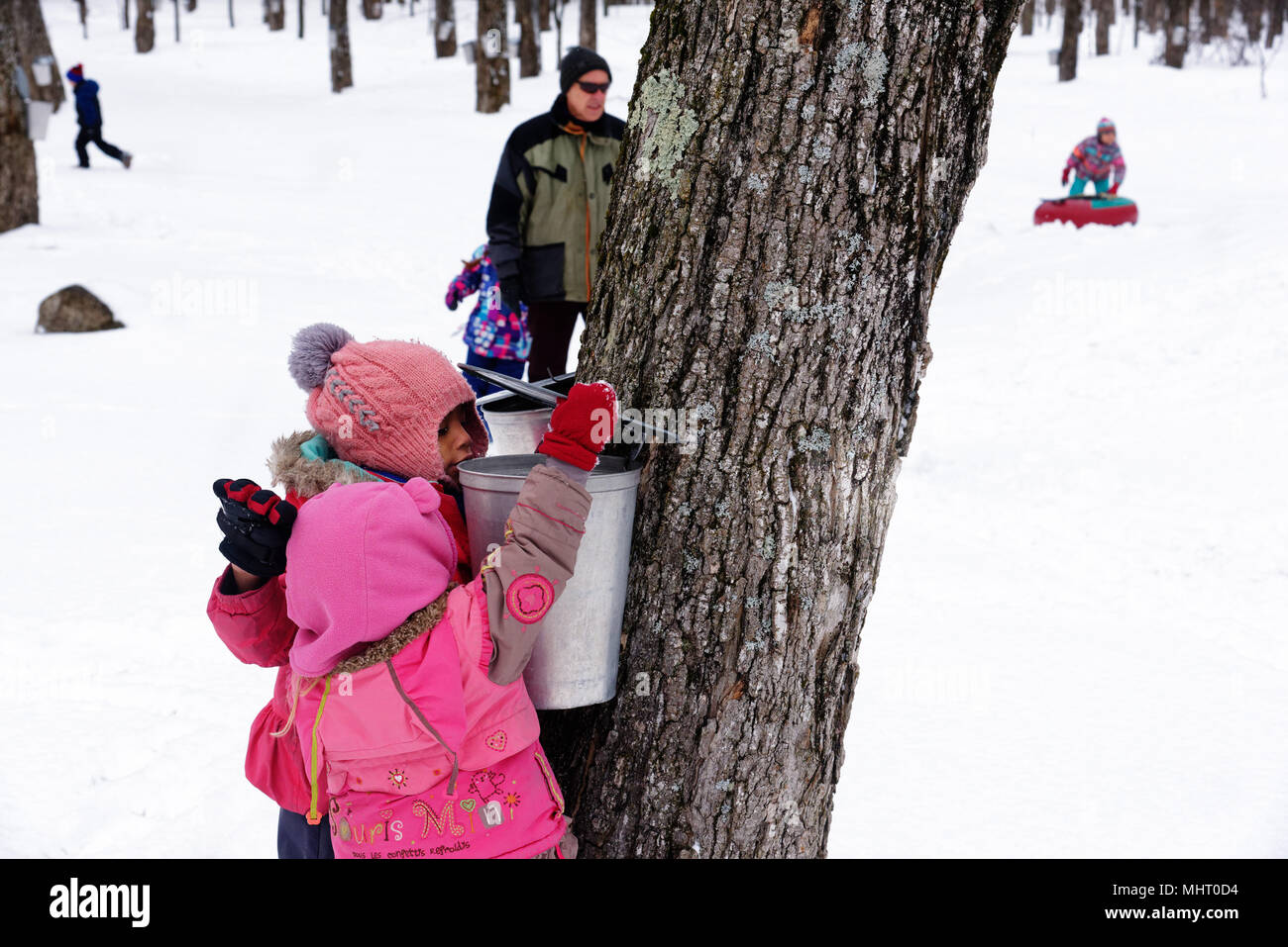 Two young girls (3 yr olds) looking inside a maple sap collecting bucket in a maple tree plantation in Quebec Canada - Stock Image
