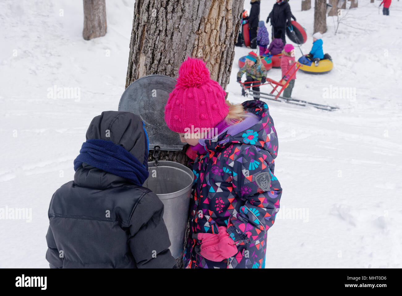 Two young children (5 yr olds) looking inside a maple sap collecting bucket in a maple tree plantation in Quebec Canada - Stock Image