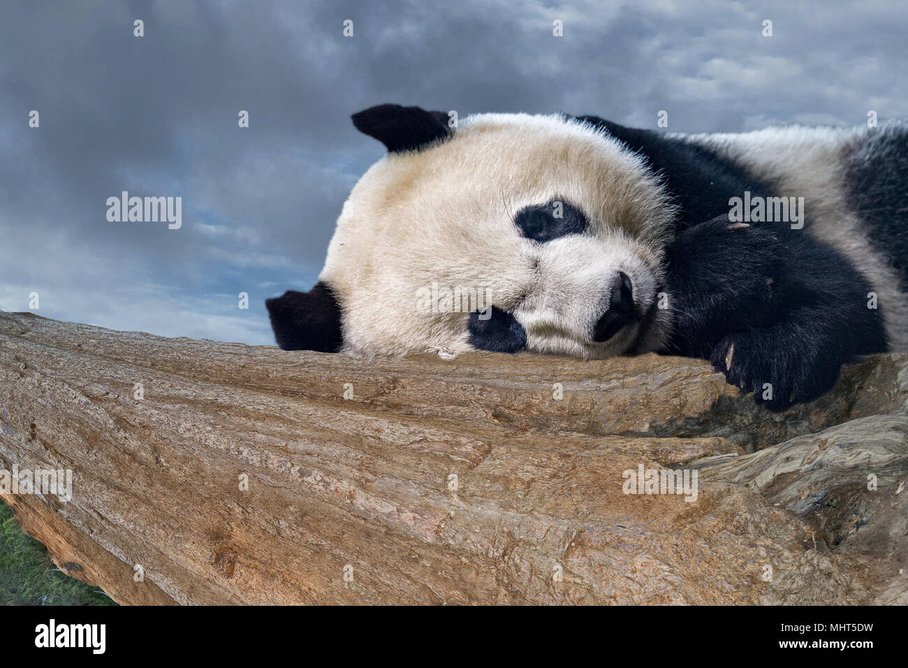 giant panda newborn baby portrait close up while looking at you - Stock Image