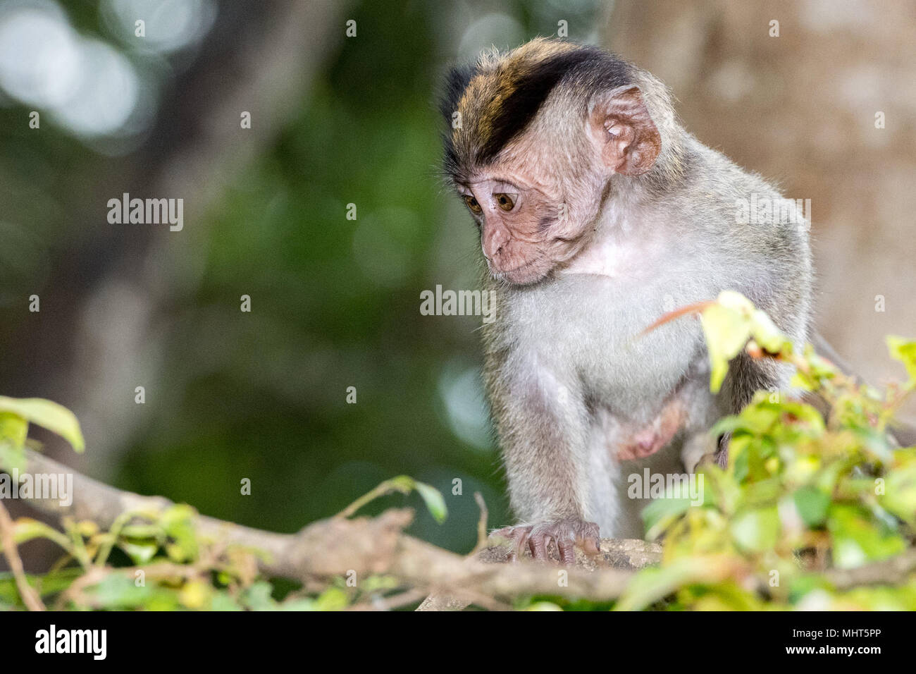 Baby Puppy Indonesia Macaque Monkey Ape Close Up Portrait Looking At