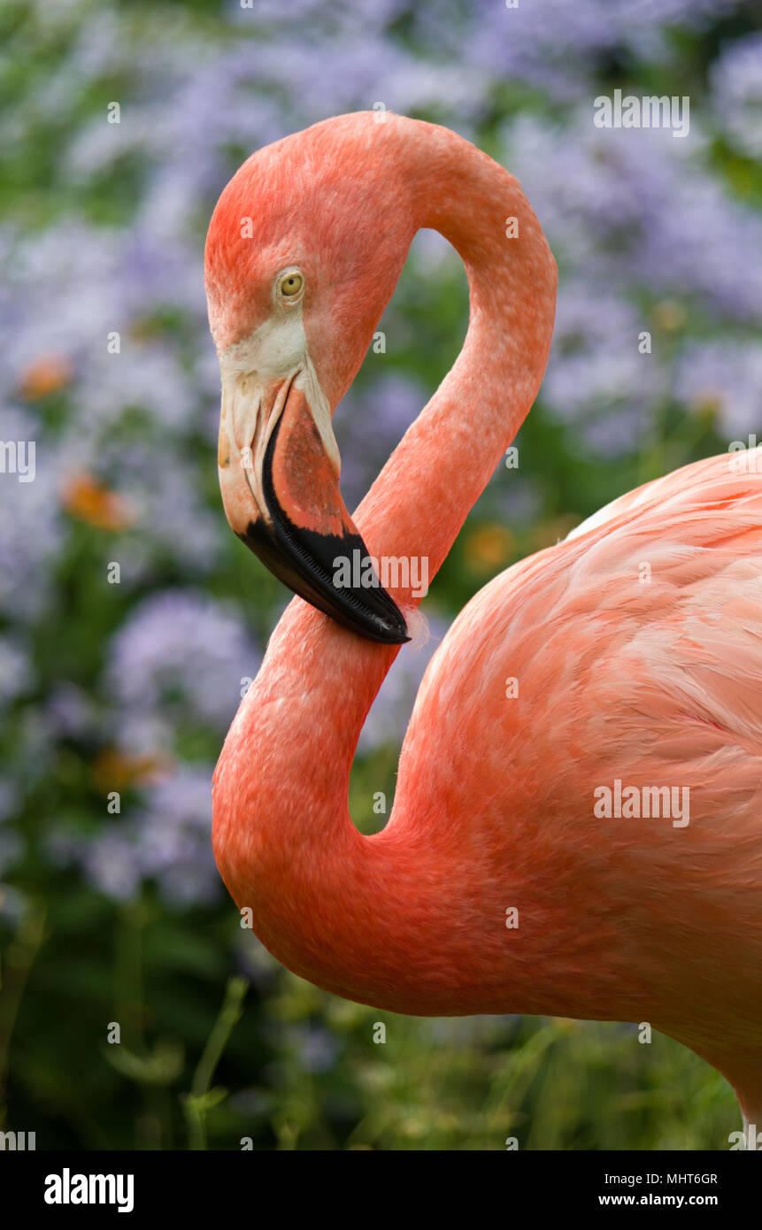 Close up of an American Flamingo, coloured pink, part of a small colony at Coton Manor Gardens, Northamptonshire, UK Stock Photo