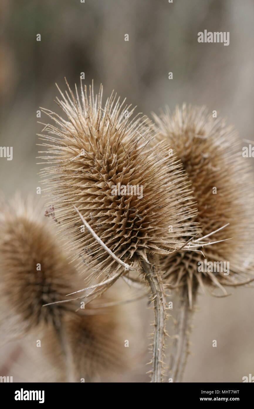 Teasel Seed Heads (Dipsacus fullonum) - Stock Image