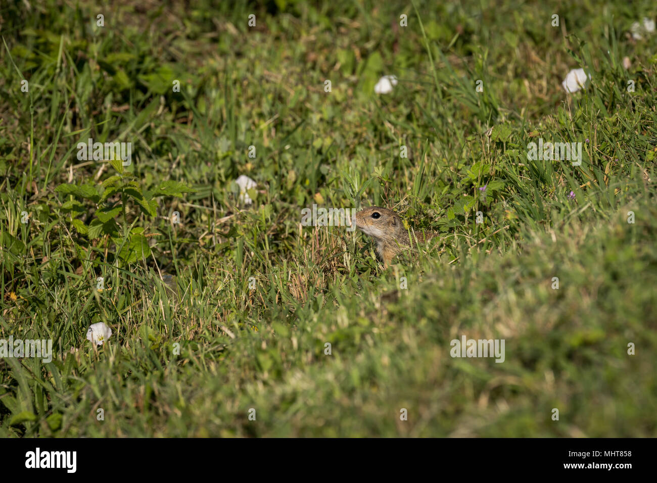 European Ground Squirrel in search of the food, a curious little animal. Is listed as being Vulnerable by the IUCN. - Stock Image