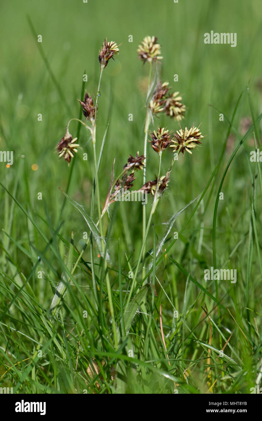 Field woodrush or Good Friday grass, Luzula campestris, a weed rush flowering in a garden lawn, April - Stock Image