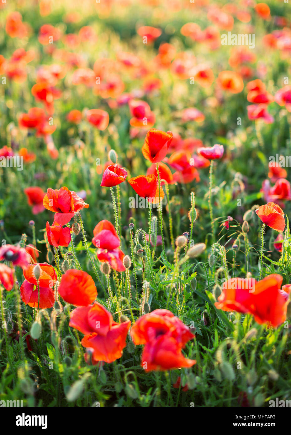 Nature Spring Summer Blooming Red Flowers Concept Close Up Of