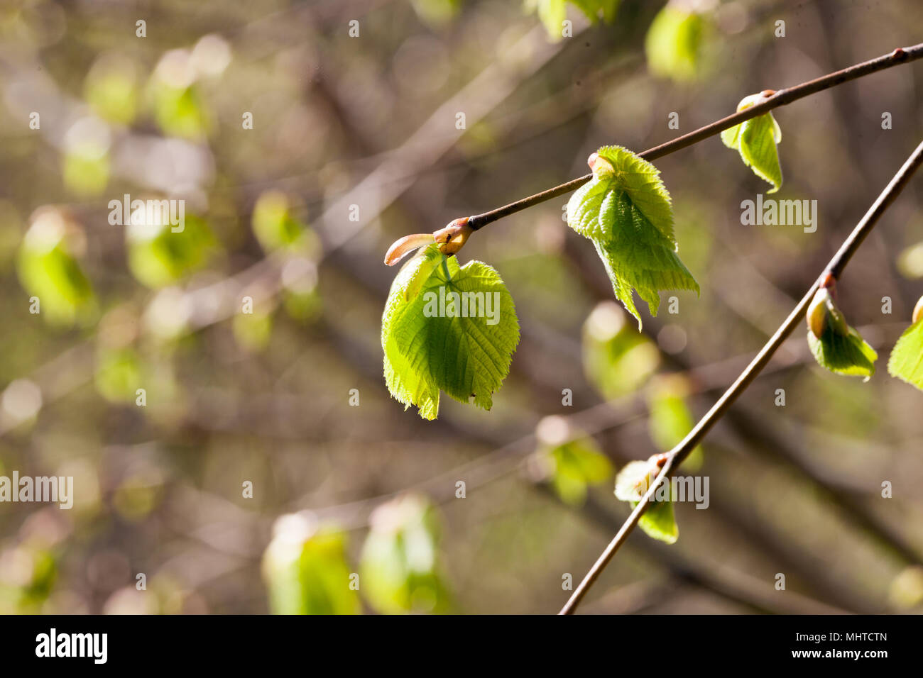 Common Hornbeam, Avenbok (Carpinus betulus) - Stock Image