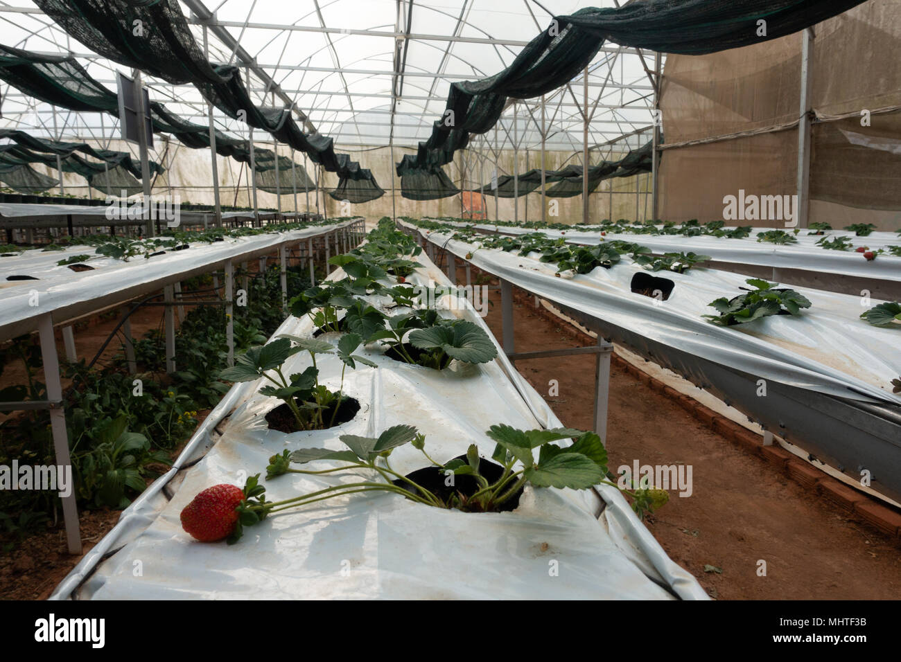 Hydroponic strawberry farm. Hydroponics method of growing plants strawberry, in water, without soil. Hydroponic lettuces in hydroponic pipe Stock Photo