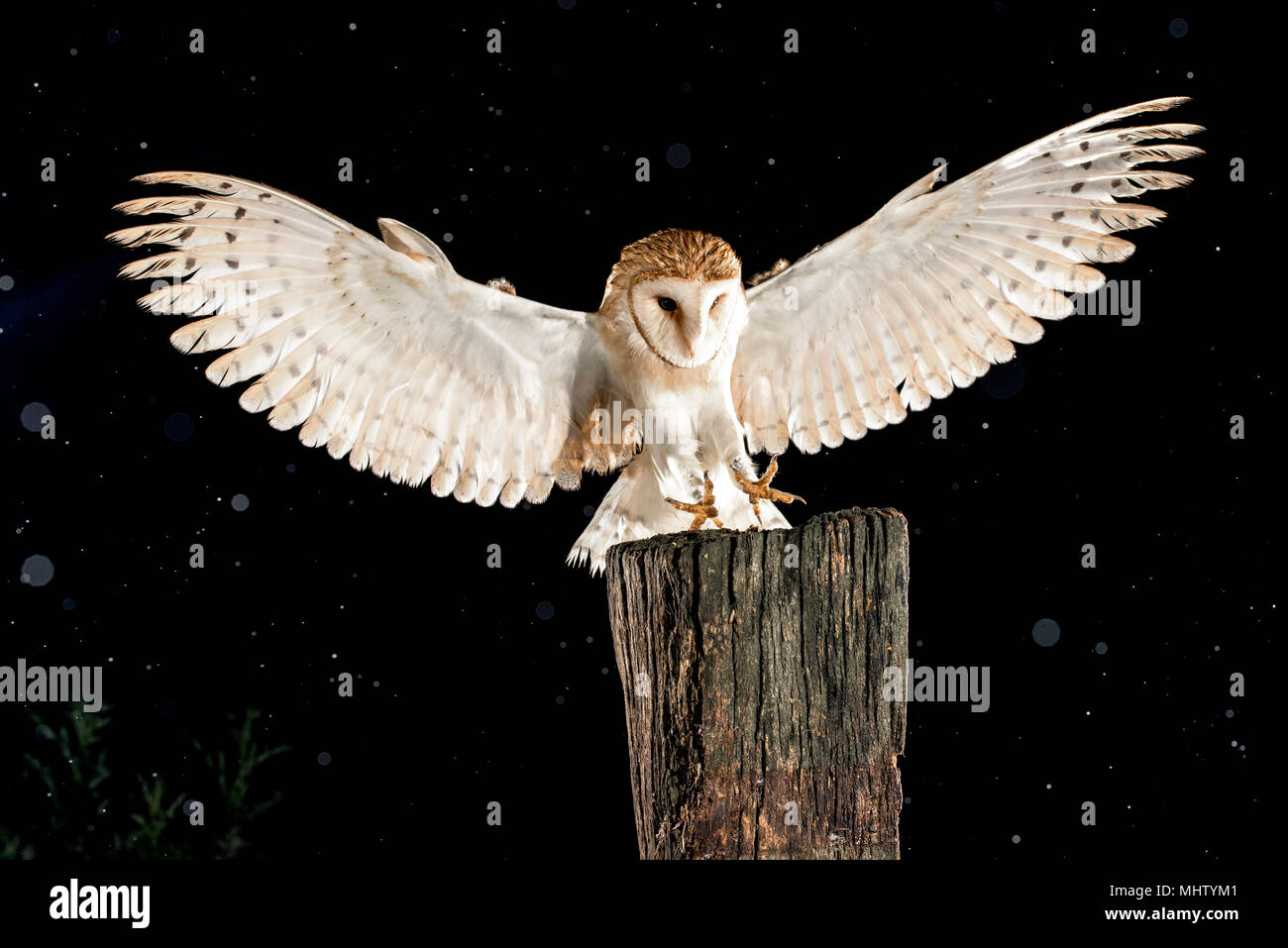Barn Owl Lechuza Comun Stock Photos Barn Owl Lechuza Comun Stock