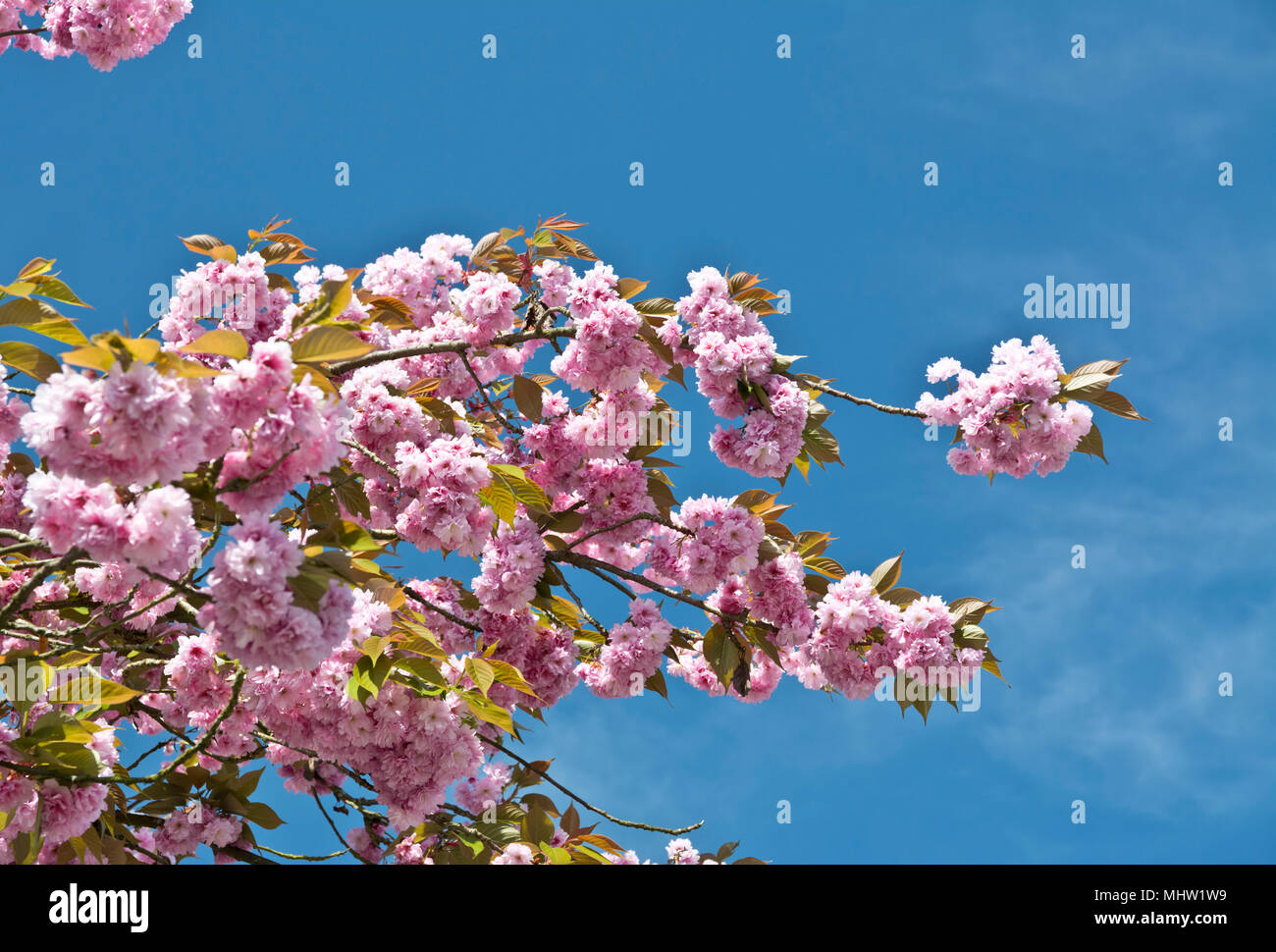 beautiful-pink-cherry-blossoms-prunus-ka