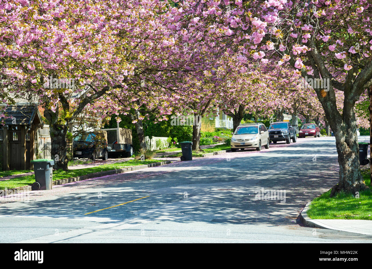 Tree Lined Street With Pink Ornamental Cherry Blossoms In New