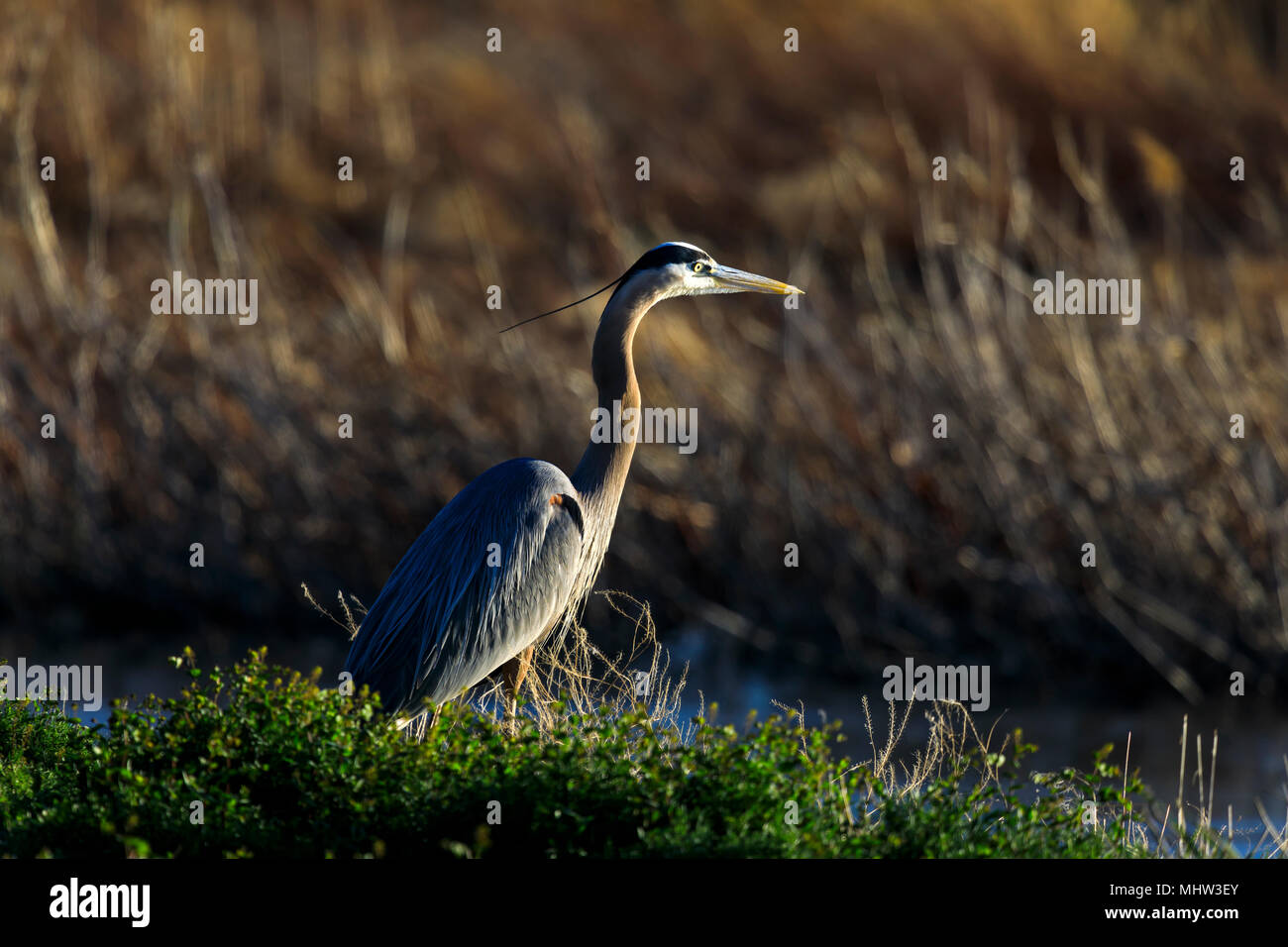 In this shot a Great Blue Heron  (Ardea herodias) at the Bear River Migratory Bird Refuge stands on the bank of the Bear River and waits for a fish. - Stock Image