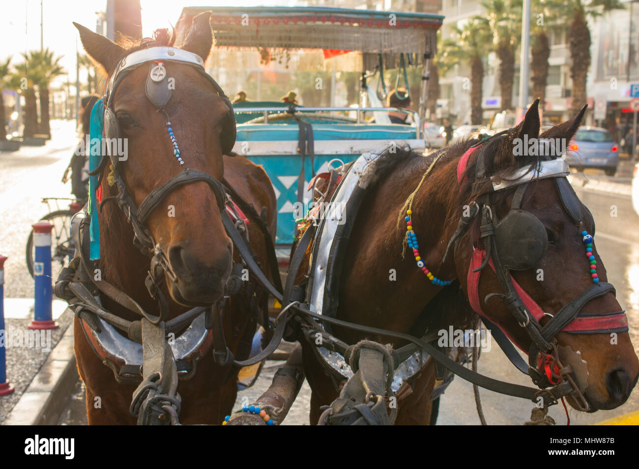 phaeton and two horse. tired horses. the evening sun comes over. they are waiting for the phaeton customers. Horse Carrier. - Stock Image