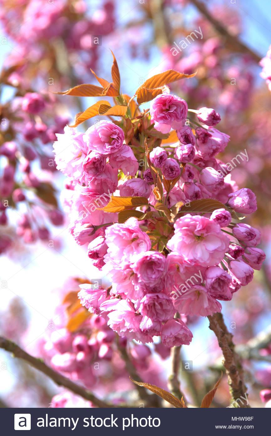 Japanischer kirschbaum online dating