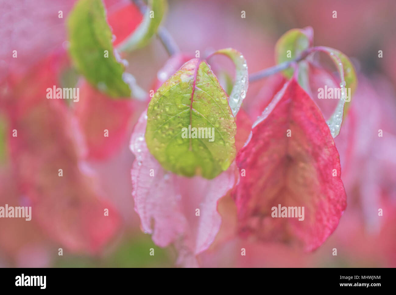 Wide aperture and soft focus on pink leaves - Stock Image